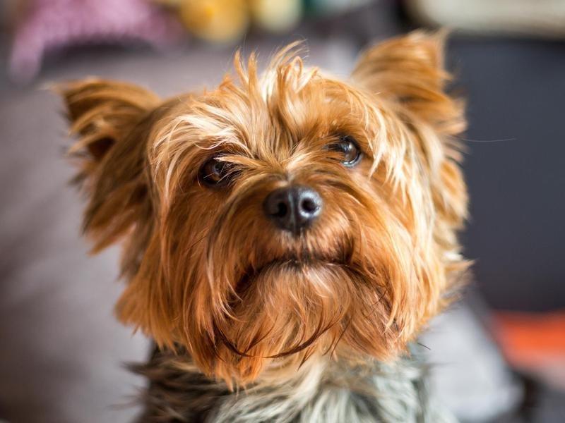 Las mejores razas de perros chiquitos
